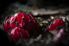 Possibilities: Snowplant (Life_After_Death - Shannon Day) Tags: life flowers red snow plant flower detail macro art floral crimson field forest canon garden dark botanical photography eos death petals soft day dof bokeh gardening outdoor ground sierra petal fungi shannon national after wildflowers dslr delicate botany wildflower canondslr canoneos heavenly thaw intricate sierranationalforest sanguinea photosynthesis snowplant lifeafterdeath sarcodes 50d shannonday canoneos50d eosdslr canoneos50ddslr lifeafterdeathstudios lifeafterdeathphotography shannondayphotography shannondaylifeafterdeath lifeafterdeathstudiosartandphotography shannondayartandphotography