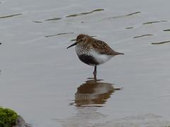 Dunlin  P1250747 (ianpreston) Tags: birds northumberland dunlin 2016 beadnellbay