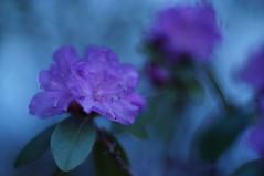 L'heure bleue (Patrice StG) Tags: blue flower fleur bokeh gimp bleu qubec rhododendron nikkors55mmf12 55mmf12s nex3n