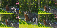 Preparing for playfighting (Finn Frode (DK)) Tags: pet cats animal cat garden denmark play outdoor rags olympus som somali mixedbreed somalicat bastian domesticshorthair omdem5 dusharatattersandrags