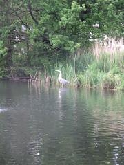 Pond, Wandsworth Common with grey heron (John Steedman) Tags: uk greatbritain england london heron pond unitedkingdom ardeacinerea wandsworth greyheron grossbritannien  wandsworthcommon    grandebretagne