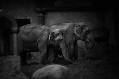 Happy couple (Bilderwense) Tags: blackandwhite blancoynegro noiretblanc bw sw bnw monochrom monochrome mono nikkor 50mm f18 nikon d5000 schwarzweis bokehrama natur nature germany norddeutschland deutschland europe europa einfarbig nikond5000 50mmf18 elefant hamburg zoo hagenbeckstierpark hagenbeck tierpark tier elephant