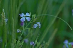 Blue flower 2 (horschte68) Tags: tair11a135mm28 m42 blue flower blossom grassland meadow nature depthoffield dof bokeh light available availablelight