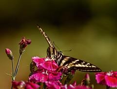 Fuchsia Feast (David Montesino) Tags: usa butterfly washington spring tacoma blooms longbranchwashington keypeninsula