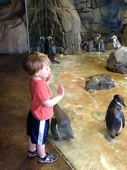 "Paul Watches Penguins at the Kansas City Zoo • <a style=""font-size:0.8em;"" href=""http://www.flickr.com/photos/109120354@N07/27243962933/"" target=""_blank"">View on Flickr</a>"