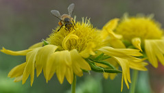 a hardworking bumblebee after sunset (Nitya...) Tags: macrophotography nikkor nikond5200 evening flower handheld macrolens nitya nitya800gmailcom tamron90mm bee bumblebee outdoor depthoffield
