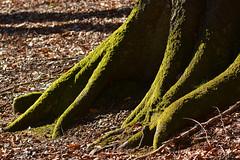 Beech (Thomas Roland) Tags: wood tree green forest denmark spring outdoor zealand trunk backlit dnemark danmark beech fod skov forr sjlland grn bg avnstrup stamme bidstrup skovene earthnaturelife smuldmosen