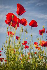 Poppies !! (antoninao) Tags: flowers red sky verde green clouds canon orlando nuvole outdoor mark iii ngc cielo poppies 5d buds fiori rosso abruzzo papaveri antonina pescara antonine boccioli 5dmarkiii
