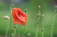 Poppy (wigerl) Tags: light red wild nature austria licht sterreich europa europe fuji foto zoom natur krnten carinthia poppy wilder mohn tiffen feldkirchen abigfave fujixt1 fujixc18135mm