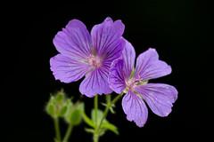 Geranium maculatum (Mukumbura) Tags: geranium wildgeranium geraniummaculatum purple mauve petals two flowers blooms garden england