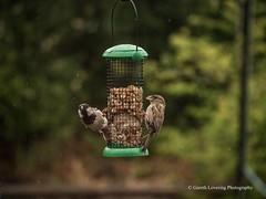 Feeding time in the Wind & Rain3 (Gareth Lovering Photography 3,000,594 views.) Tags: birds garden feeding wildlife feeder starling olympus sparrow 75300mm lovering em1 garethloveringphotography