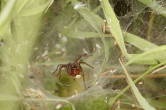 Labyrinth spider with plant hopper (Steve Balcombe) Tags: uk somerset taunton