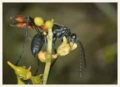 Tarantula Hawk (gauchocat) Tags: arizonasonoradesertmuseum tucsonarizona