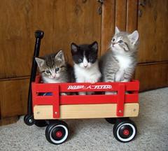Cats in a wagon! (sfspcafoster) Tags: sf photos foster spca