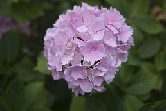 P1280450 (Jusotil_1943) Tags: flora hortensia hydrangeas desenfoque selectivo