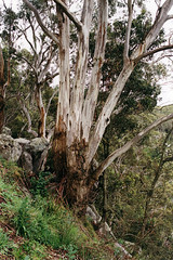 red river gum (Stefan Ulrich Fischer) Tags: travel nature 35mm outdoor oz australia scanned analogue downunder kodakektachrome olympusmju2
