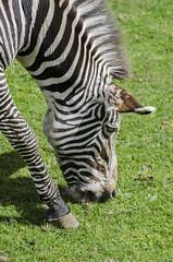 Edinburgh Zoo (karllaundon) Tags: edinburghzoo animals birds wildlife zebra