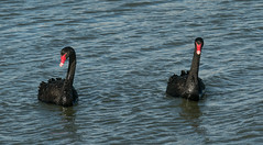 20160714_1013_7D2-170 Tacking into the wind (johnstewartnz) Tags: canon eos swan walk 70200 blackswan cygnusatratus newbrighton 70200mm apsc 7d2 7dmarkii canonapsc