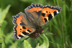 Small Tortoiseshell (drbut) Tags: nature animal butterfly insect outdoor wiltshire aglaisurticae smalltortoiseshell nymphalids redlodgewood