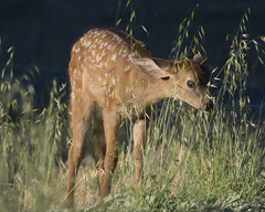 Fawn Grazin' In The Grass (uncle.dee9600) Tags: grass nikon deer telephoto fawn tallgrass babydeer nikond7200