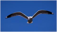Common gull (Larus canus) (Palmius Photo) Tags: laruscanus commongull gull fiskms natur nature bird fglar canon canon7dmk2