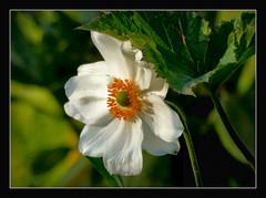 Anemone (karin_b1966) Tags: plant flower nature garden blossom natur pflanze anemone blume blte garten 2016 yourbestoftoday