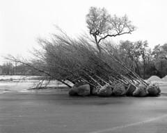 Leaning Trees (Baisao) Tags: bw 6x6 tlr film mediumformat blackwhite squareformat vintagecamera pyro 1951 yellowfilter ilfordfp4 281 ei160 rolleiflexautomat6x6modelk4a 3575mmtessar 3575mmtessartwinslensreflex rolleiflexmxmodel2