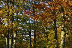 Autumn woods at Port (Gregor  Samsa) Tags: wood autumn mountains fall forest walking maple woods october republic czech hiking path walk hike trail czechrepublic bohemia portas ceskarepublika moravia cesko esko eskrepublika javorniky czechland javornky port maplemountains czechlands
