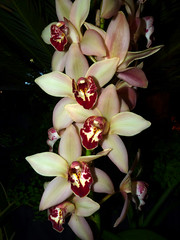 the 2015 pacific orchid exposition, Cymbidium hybrid (nolehace) Tags: show sanfrancisco winter orchid flower unitedstates orchids pacific fort sale mason exposition bloom fortmason annual hybrid society discovery poe thrill cymbidium 215 2015 pacificorchidexposition 63rd 150000 sanfranciscoorchidsociety thethrillofdiscovery february1922 heldfebruary1922 63rdannualshow