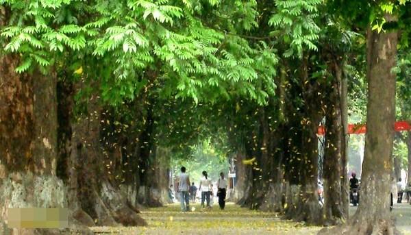 2(Lá sấu rụng vàng ươm cả con phố)