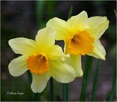 Twins (sh10453) Tags: flowers macro nature closeup unitedstates michigan daffodils oakpark