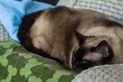 _DSC4133 (Simply Angle) Tags: sleeping portrait pet pets animal cat chair feline siamesecat sony siamese blanket resting canonfd canonfd50mmf18 nex3