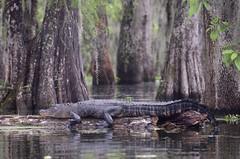 KCC_0646 (kccornell) Tags: lake michael louisiana kayak martin alligator paddle