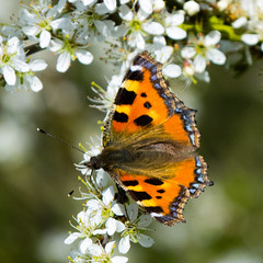 Tortoiseshell butterfly on blackthorn flowers (Dave_A_2007) Tags: aglaisurticae nymphalidae blackthorn butterfly flower fourfootedbutterfly insect nature plant sloe tortoiseshellbutterfly tree wildlife bridgnorth shrops unitedkingdom