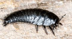 American Carrion Beetle larva - Necrophila americana (ScreaminScott) Tags: macro bug insect beetle larvae americancarrionbeetlelarvanecrophilaamericana