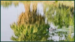 Mallard Duck (Sugardxn) Tags: california lake water birds duck palmsprings lakeside mallard fowl canoneos7d canon7d sugardxn