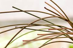 Hoya spartioides (pixelGeko) Tags: hoya selbygardens asclepiad spartioides