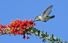 Anna's Hummingbird -- Female (Calypte anna); Catalina, AZ [Lou Feltz] (deserttoad) Tags: nature arizona bird wildbird songbird hummingbird desert flight ocotillo