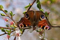 Tagpfauenauge (Inachis io) (AchimOWL) Tags: macro animal insect tiere wildlife makro insekt tier schmetterling gm1