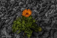 Colorido en un suelo gris... (Javier Arcilla) Tags: flores color verde blancoynegro pentax leon naranja bierzo ponferrada castillayleon pentax1855mm pentaxk50