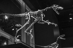Sauronitholestes - Lizard Bird Robber (juan_guthrie) Tags: drumheller alberta royaltyrrellmuseum dynosaur