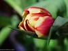 Tulip (David S Wilson) Tags: uk flowers england flower ely fens flowersplants 2015 davidswilson lightroom5 sonysel50f18 sonya5100