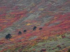 Valle Mitrauqun (Mono Andes) Tags: chile andes otoo araucaria araucariaaraucana araucariaceae chilecentral regindelaaraucana cayulafqun mitrauqun mesetadecayulafqun