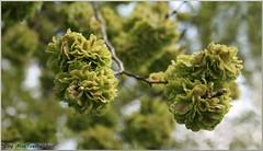Ulmus minor (Miss Tueftelchen) Tags: plant tree flora outdoor natur pflanze botany frucht baum botanik
