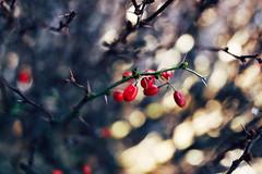 Winter Berries (Matthew Plahtinsky) Tags: red canon bush berries bokeh 14 sigma captureone sigma35mmf14 sigma35mmf14dghsmart