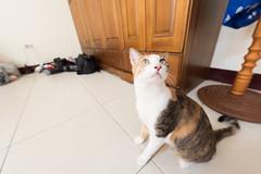 20150405-DSC_2702 (Noelas) Tags: pet cat ed momo nikon 04 g 05 taiwan mo nikkor dslr      yunlin 2015  1424 d810  nikond810 1424mm 142428 nikonnafsnikkor1424mmf28ged