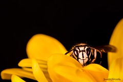 i dare you! (skeem125) Tags: flower macro nature animals closeup focus insects bee yello