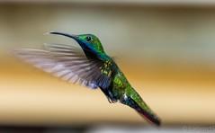 Colibri (lagord5 /) Tags: naturaleza color verde bird flash movimiento vida ave luzdeda