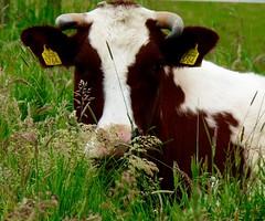 3764 . (Franc Le Blanc .) Tags: portrait animal lumix cow panasonic koe elshout 3764
