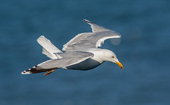 JWL0049 Herring Gull.... (jefflack Wildlife&Nature) Tags: nature birds countryside wildlife gulls avian seabirds waterbirds herringgull shorebirds wildbirds coastalbirds